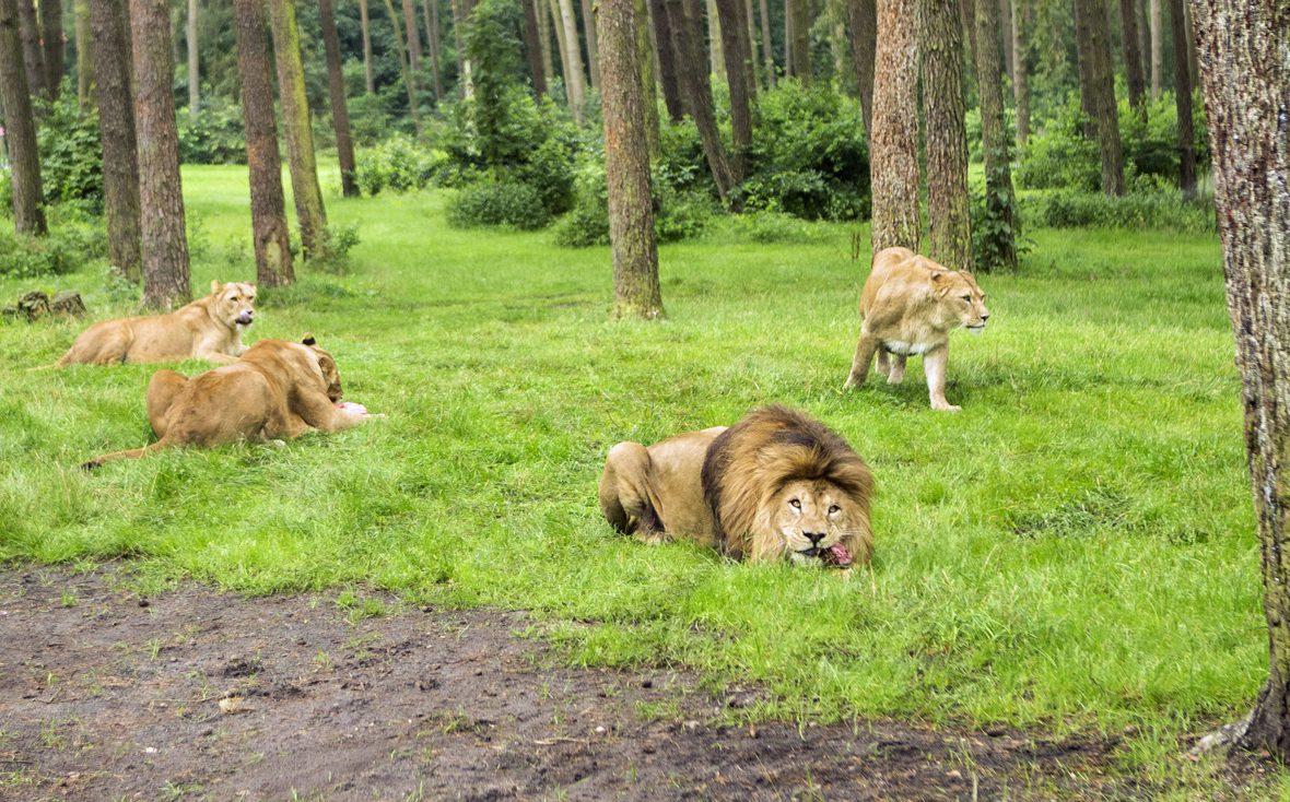 Löwen beim Fressen im Serengeti-Park