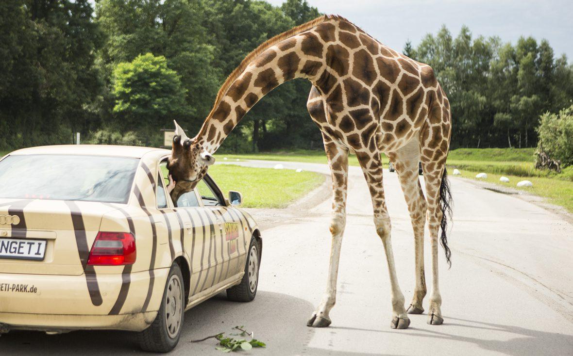 Im Serengeti-Park steckt eine Giraffe den Kopfs ins Autofenster