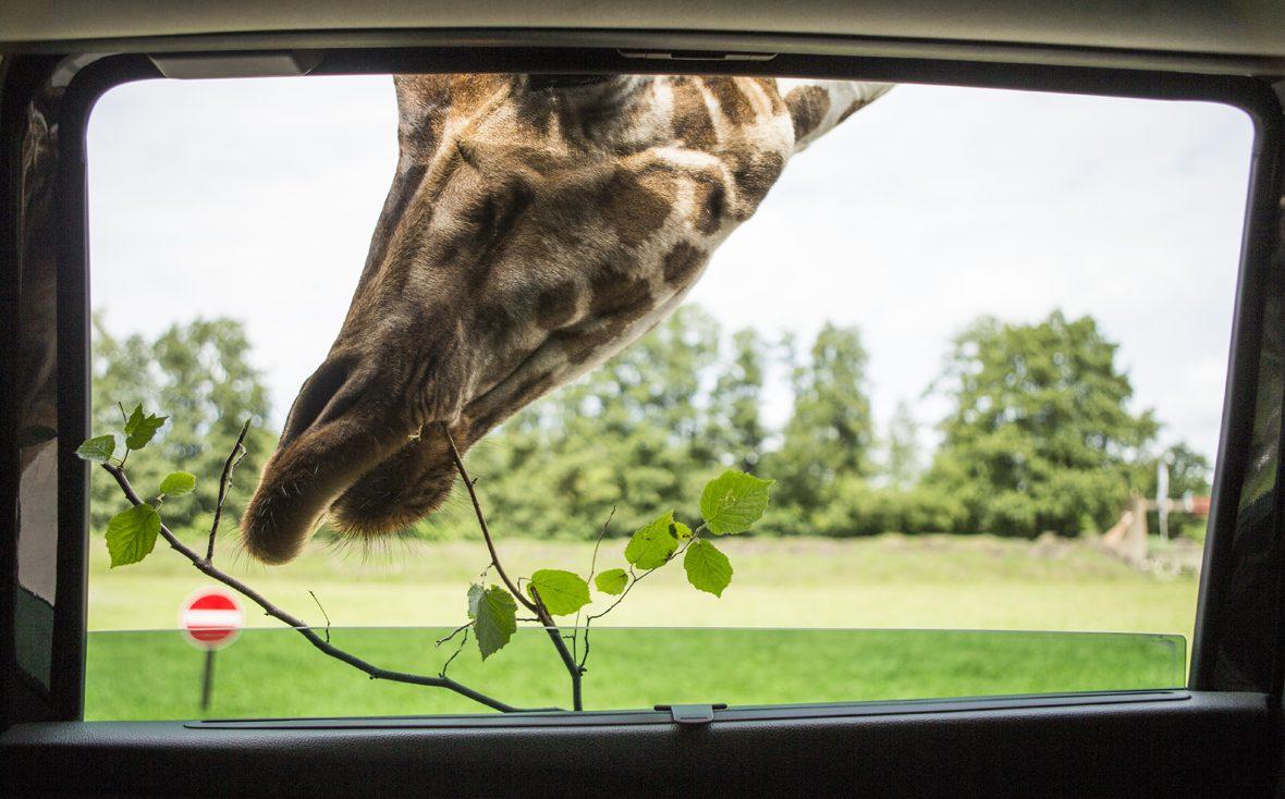 Eine Giraffe aus dem Serengeti-Park am Autofenster mit Ast