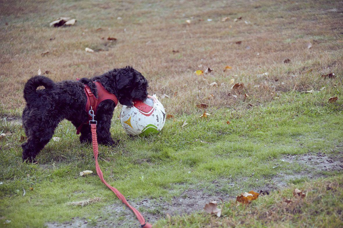 Hund Happy hat den Fußball erwischt und bearbeitet ihn mit seinen kleinen Zähnchen.