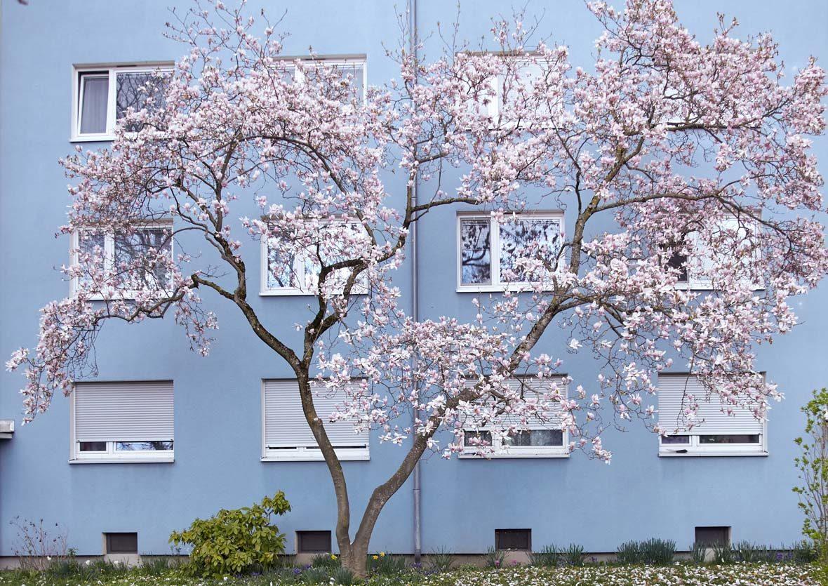 Ein blühender Baum vor einem Wohnhaus.