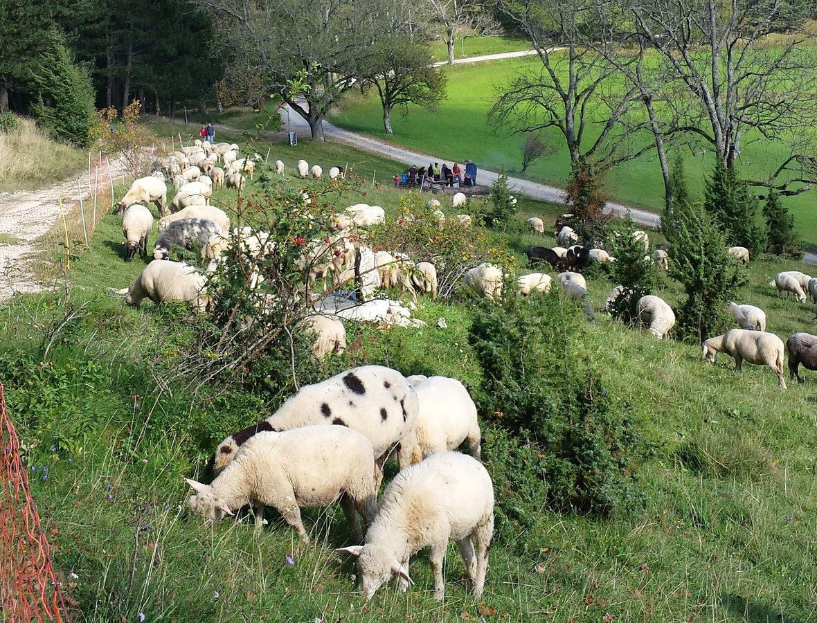 Foto: Schafe auf einer Wiese.