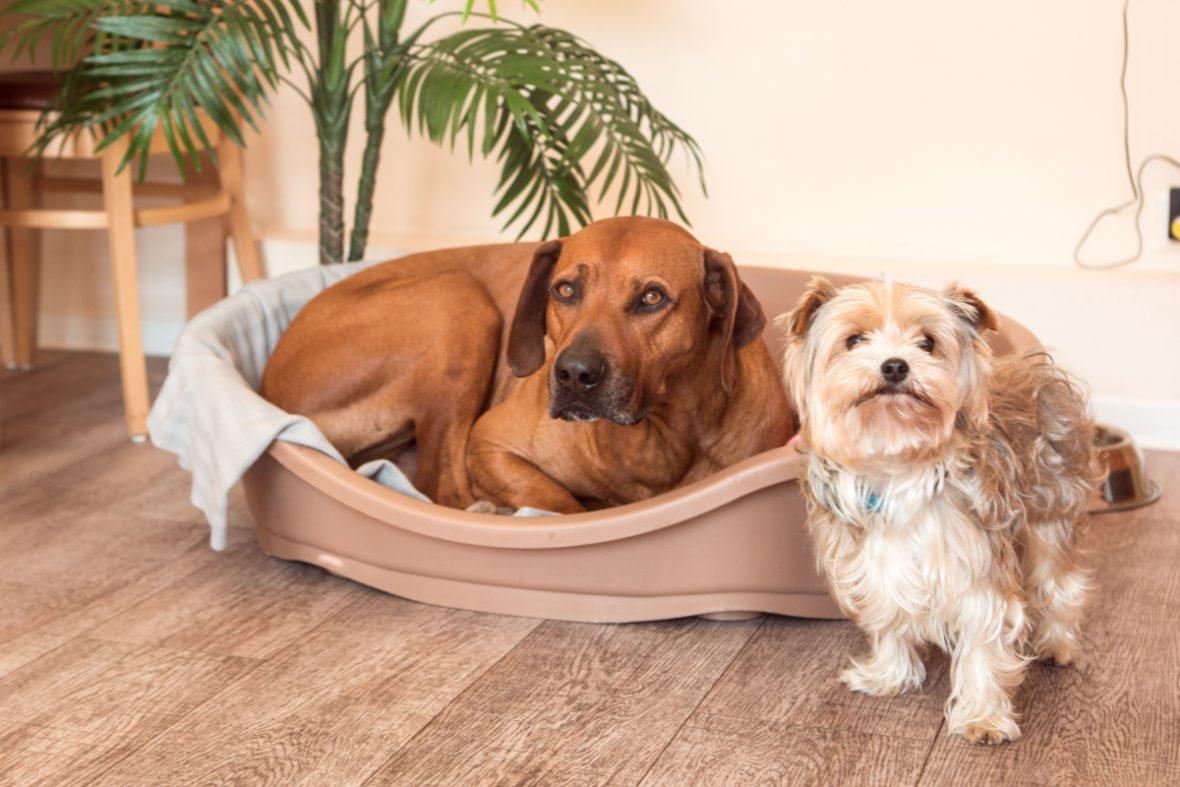 zwei Hunde im Körbchen